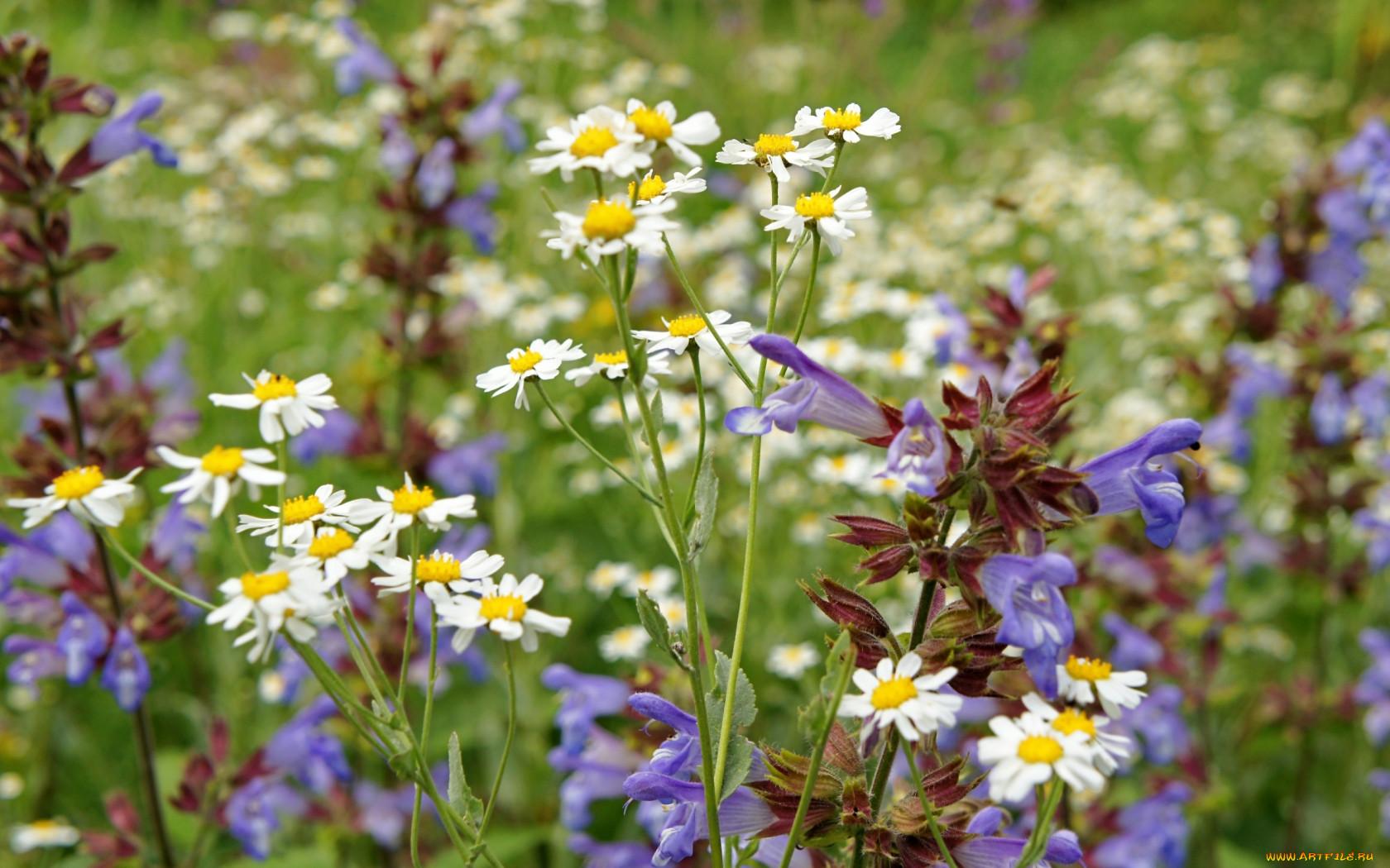 Полевые и луговые цветы фото и названия